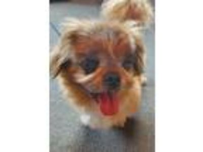 Adopt Mickey - AVAILABLE SOON! a Pekingese