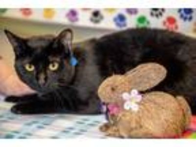 Adopt Clooney a All Black Domestic Shorthair / Mixed (short coat) cat in