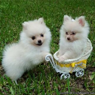 Celebrity Pomeranian Puppies For A Good Homes