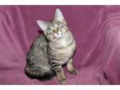 Adopt Tostito a Domestic Short Hair