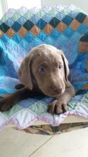 Labrador Retriever PUPPY FOR SALE ADN-74997 - Silver Labrador Retrievers