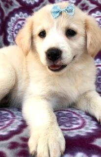Golden Retriever-Border Collie Mix PUPPY FOR SALE ADN-92156 - Take home Beautiful Dazzle Today
