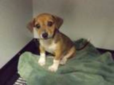 Adopt 41955374 a Tan/Yellow/Fawn Beagle / Mixed dog in Cleveland, GA (25599283)