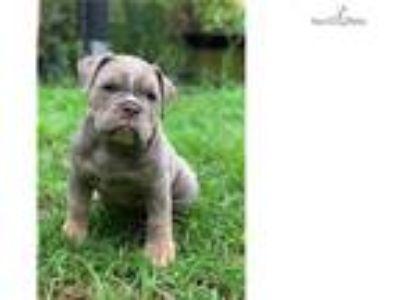 Champion Sired Olde English Bulldog male pup