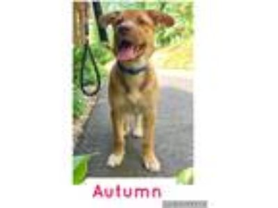 Adopt Autumn a Tan/Yellow/Fawn - with White German Shepherd Dog / Mixed dog in