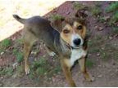 Adopt Toby a Tricolor (Tan/Brown & Black & White) Terrier (Unknown Type