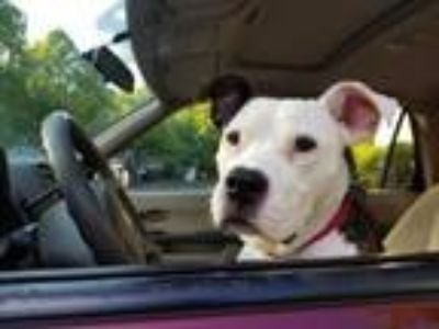 Adopt Scooby Steele a Pit Bull Terrier