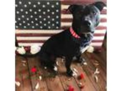 Adopt Shiloh a Black American Pit Bull Terrier / Mixed dog in Wisconsin Rapids
