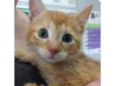 Adopt Goldfish a Orange or Red Domestic Shorthair cat in League City