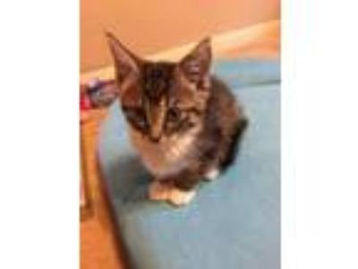 Adopt Patch a Domestic Short Hair