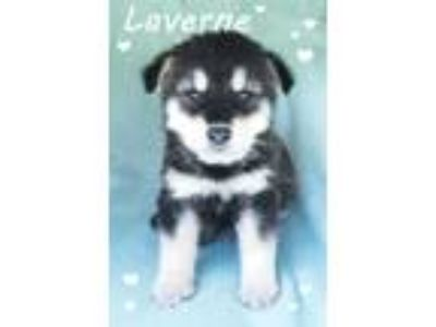 Adopt Lanerne a Black - with Tan, Yellow or Fawn Husky / Mixed dog in