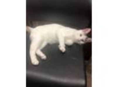 Adopt Pickle a American Shorthair