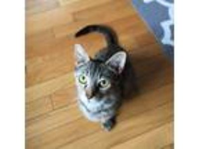 Adopt Liza a Domestic Short Hair
