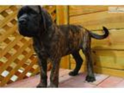AKC registered male English Mastiff puppy-Nixon