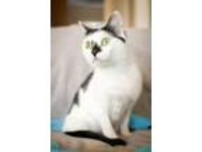 Adopt Shorty 141269 a Domestic Short Hair