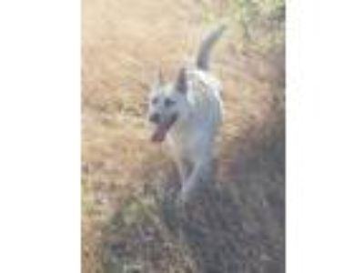 Adopt Katara - Schnee (Snow) a German Shepherd Dog