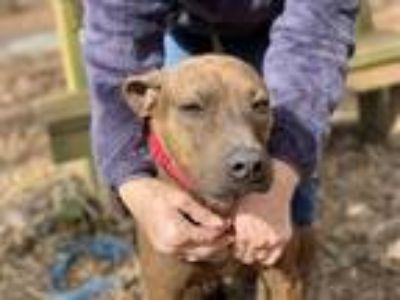 Adopt Lenny a Brindle Hound (Unknown Type) / American Staffordshire Terrier /