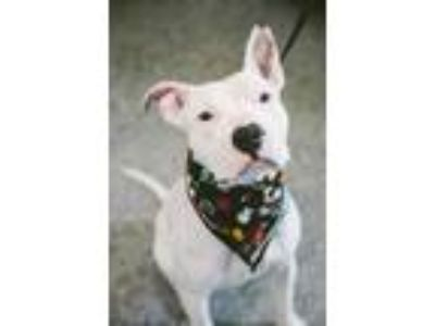 Adopt Thunder a White American Pit Bull Terrier / Mixed dog in Syracuse