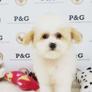 Maltese-Poodle (Toy) Mix PUPPY FOR SALE ADN-95424 - MALTIPOO LINA FEMALE