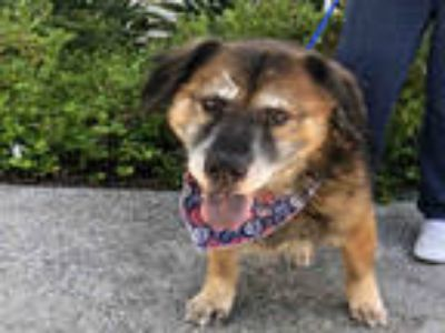 Adopt BARNEY a Brown/Chocolate - with Black Mixed Breed (Medium) / German