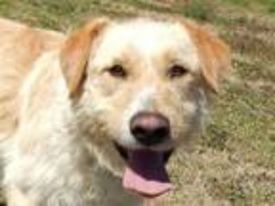 Adopt Toul 5842 a Golden Retriever, Wheaten Terrier