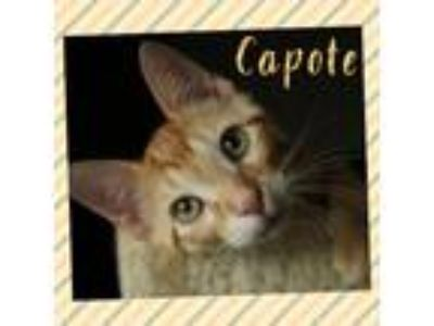 Adopt Capote a Orange or Red (Mostly) Domestic Shorthair / Mixed (short coat)