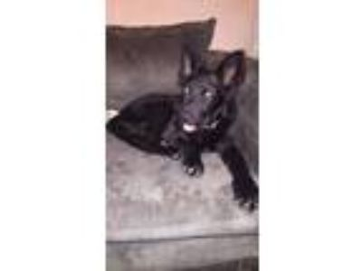 Adopt Tucker a German Shepherd Dog