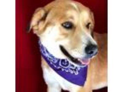 Adopt Harrison a Tan/Yellow/Fawn - with White Collie / Mixed dog in Thomspn