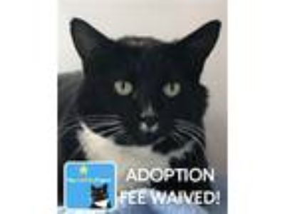 Adopt Paris a Domestic Shorthair / Mixed (short coat) cat in Novato