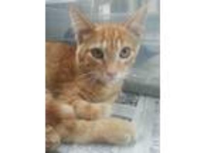 Adopt Spitfire a Domestic Short Hair