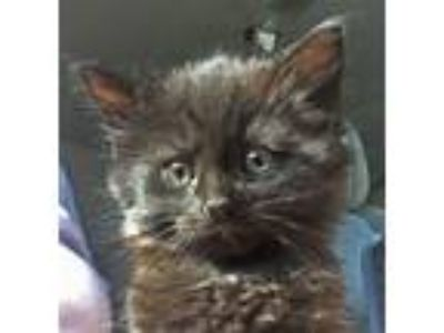 Adopt Cuddly Licorice a Domestic Long Hair