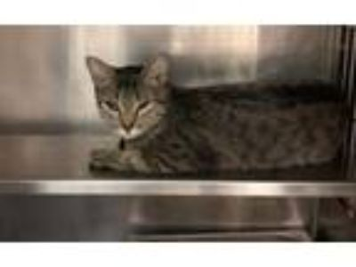 Adopt Madre a Domestic Short Hair