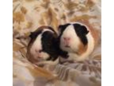 Adopt Rachel and Bluma a Guinea Pig, Short-Haired