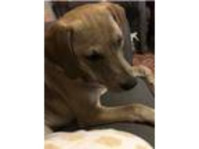 Adopt Jessie CE a Red/Golden/Orange/Chestnut Labrador Retriever / Shepherd