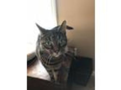 Adopt Diana a Brown Tabby American Shorthair / Mixed cat in Raleigh