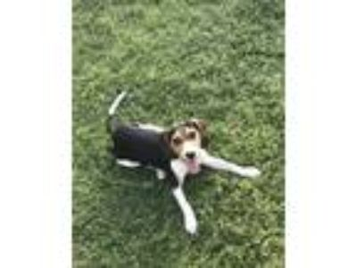 Adopt Jack a Tricolor (Tan/Brown & Black & White) Beagle dog in Colton