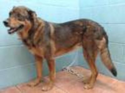 Adopt SHAKIRA a Rottweiler, German Shepherd Dog