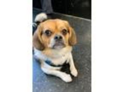 Adopt Chewy a Pug, Beagle