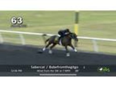 Sabercat 2 year Old Louisiana Bred Under Tack