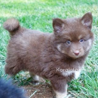 Pomsky PUPPY FOR SALE ADN-91873 - Squirt