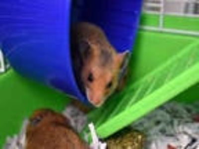 Adopt CHUU a Brown or Chocolate Hamster / Mixed small animal in Ft Lauderdale