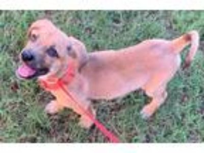 Adopt SuSu a Brown/Chocolate - with Black Hound (Unknown Type) / Mixed dog in
