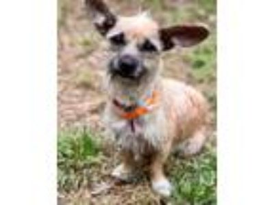 Adopt LILLY a Tan/Yellow/Fawn - with White Dachshund / Terrier (Unknown Type