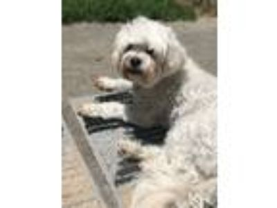 Adopt Louis a White Bichon Frise / Poodle (Miniature) / Mixed dog in Los