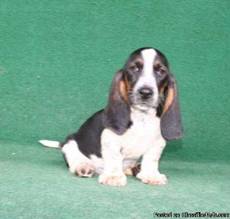 Proven ** Basset Hound Puppies Ready Now