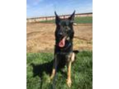 Adopt Walker a Black - with Tan, Yellow or Fawn German Shepherd Dog / Mixed dog