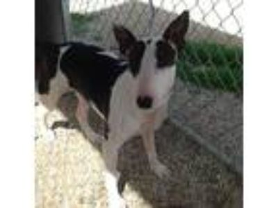 Adopt Ruby a White - with Black Bull Terrier / Mixed dog in Los Angeles