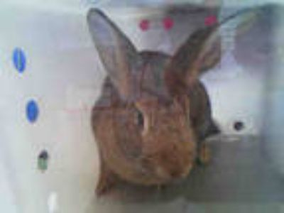 Adopt EMILY a Fawn Other/Unknown / Mixed rabbit in Dallas, TX (25690886)