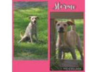 Adopt Stormi a Tan/Yellow/Fawn Hound (Unknown Type) / Labrador Retriever dog in