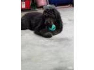 Adopt Lola a Black Goldendoodle dog in Winchester, KY (25323422)